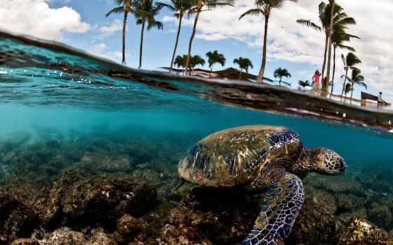 море, черепаха, turtles, free, зелёный, desktop,
