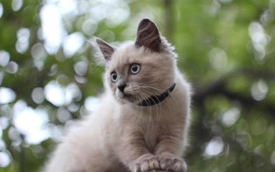 кот, ошейник, сиамская,