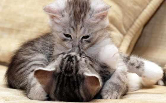 котята, пушистые, играют, маленькие, целуются,