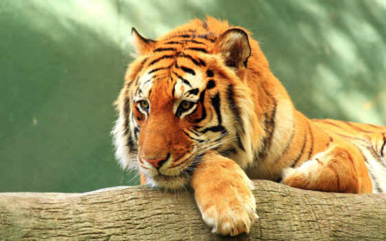 тигр, deviantart, stock, bored, tigers, celem, sumatran,