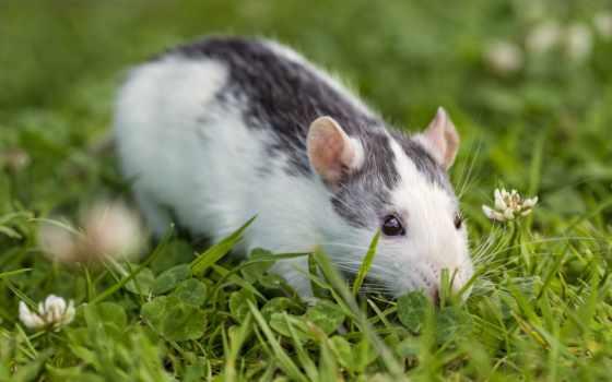 souris, herbe, une, крысы, sur, крыса, dans, olx, verte, rongeur,