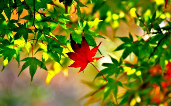 maple, leaf, листья