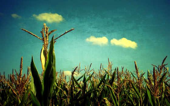 corn, поле, кукурузы, производить, небо, сельское, browse, margin, ферма, art, голубое,