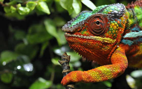 chameleon, full, качества, multicolored,