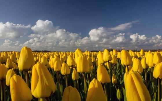 тюльпаны, поле, cvety, плантация, небо, yellow, желтые, many,