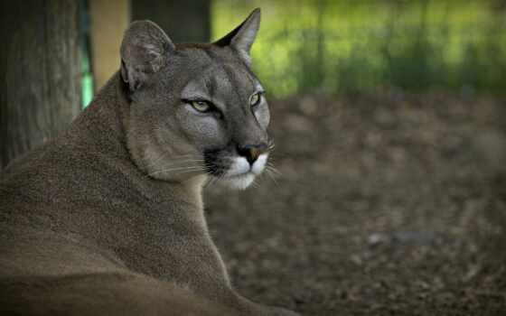 cougar, гора, puma, lion, кот, дикая, flickr,