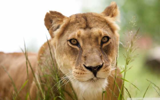 лев, львица, zhivotnye