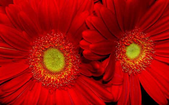 цветы, красные, flowers