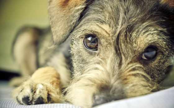 собаки, собака, взгляд, друг, собак, глазами, грустными, цвергшнауцер, зооклубе,