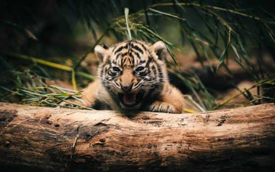 tiger, тигренок, ipad, маленький, cute, little,
