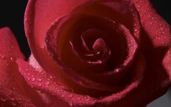 роза, роса, лепестки
