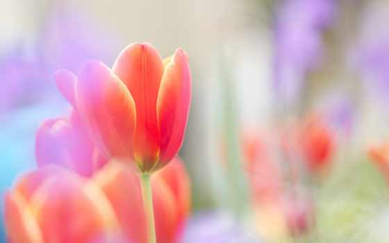 тюльпан, red, цветы