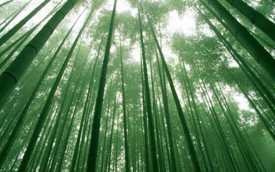 бамбук, лес, зелёный