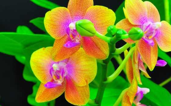 орхидеи, exotica, branch, бутоны, рисунки,