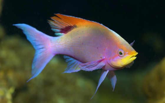 Розовая рыбка