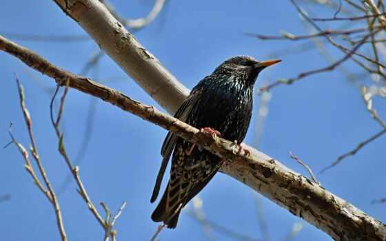 starling, ang, птица, skvorec, нокия, са