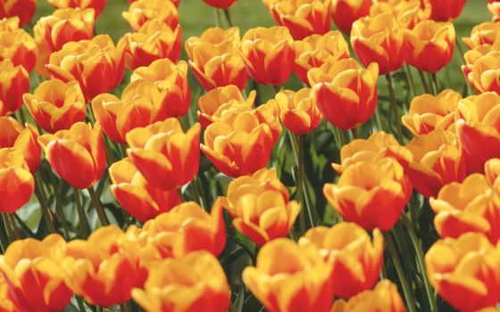 tulip, flowers