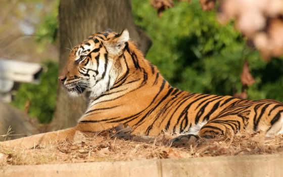 тигр, полосатая