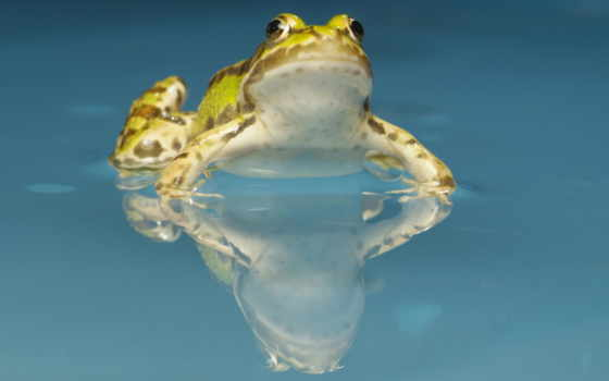 frog, жаба, water