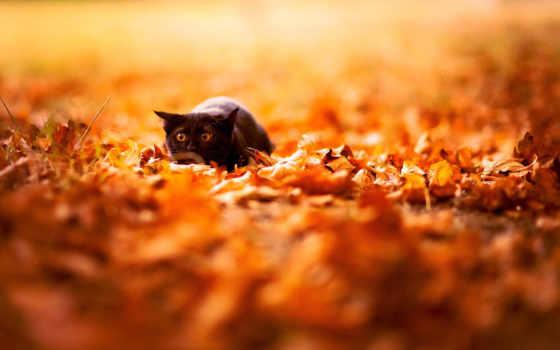 осень, листва, природа, кот, яркие, black,