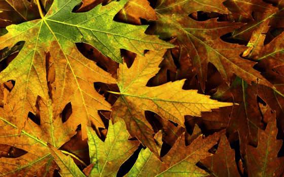 листва, осень, листья, макро, maple, природа, сухие, асмр,