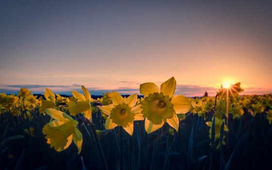 cvety, sun, поле, лепестки, вечер, желтые, нарциссы,