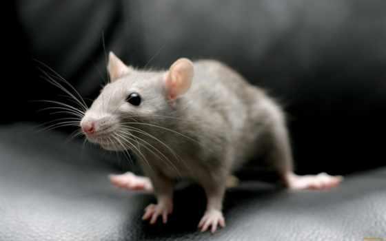 крыса, крысы, декоративная, серая, krys, домашние, чему, снится,