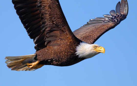 птица, белоголовый орлан