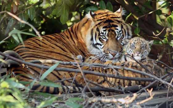 тигры, тигр