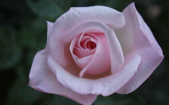 цветы, розовой, макро