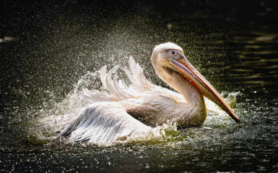новости, pelican,
