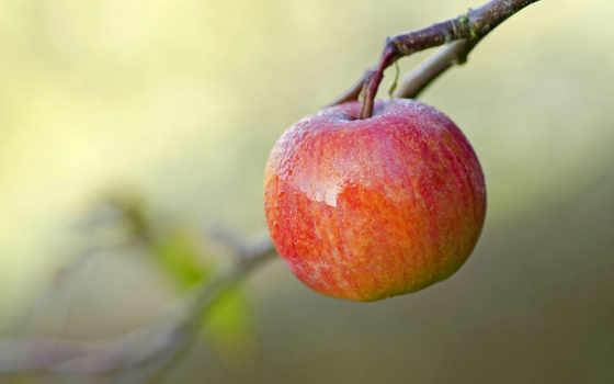 apple, красное, роса, фруктовые, спелое, веточки, ветке, branch,