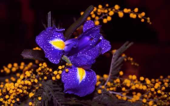 blue, цветочное, цветы, разноцветие, purple, cobalt, лепестки, iris, крокус,
