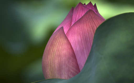 цветы, лотоса, lotus, макро, cvety, свет, бутон,