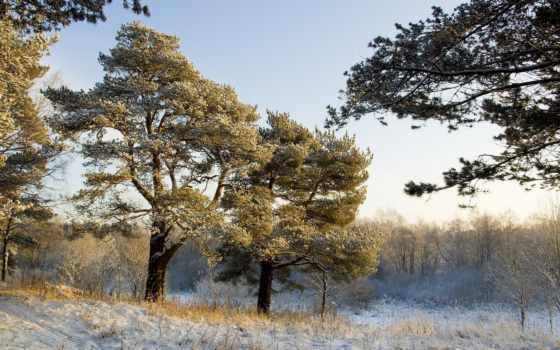 pine, снег, снегу, сосны, winter, природа, landscape,