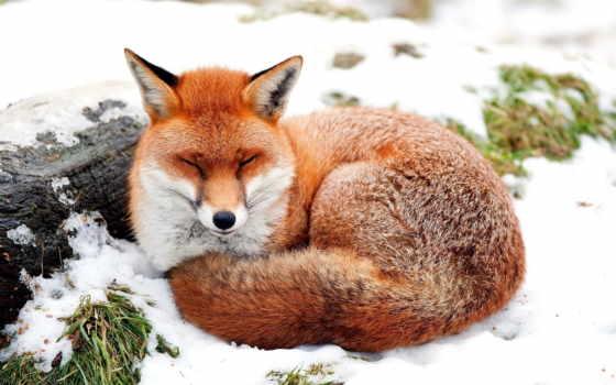 фокс, рыжая, снегу, лисы, лисицы, красивые, яndex, нравится, снимки,