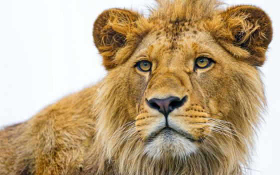 lion, вечер, ojos, león, free, del,