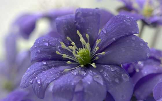 цветы, фотограф, роса, drop, sonata, makryi