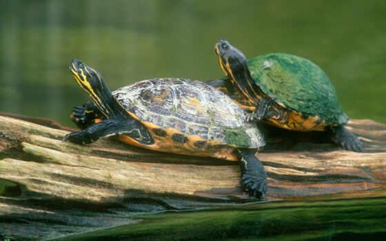 черепахи, животные, морские