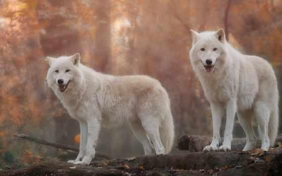 волк, white, pair, grey, desktop,