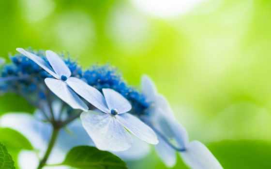 зелёный, цветы, flowers, природа, widescreen, desktop, голубые, фон,