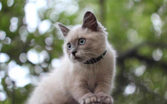 кот, ошейник, сиамская, white, small, ошейником, animal,