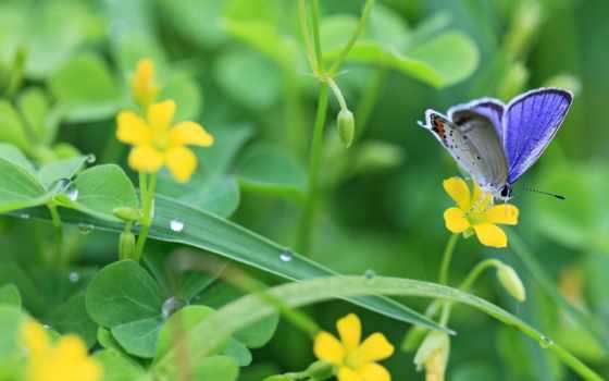 бабочка, синяя, цветках,