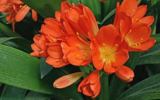 flores, cvety, anaranjadas, orquídea, pantalla, fondo, fondos,