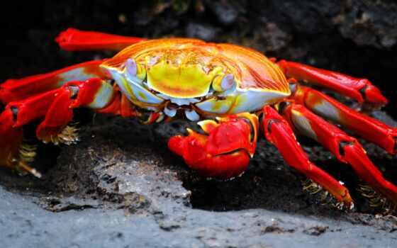 crab, freshwater, остров, ecuador, аквариум, комментарий, gal-pago