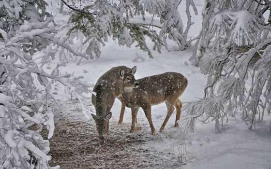 олени, снег