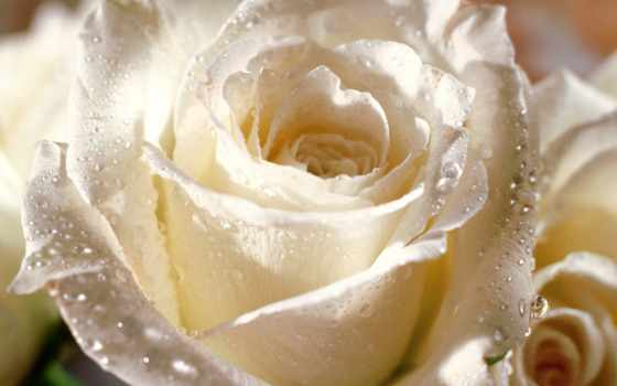 роза, розы, чайная