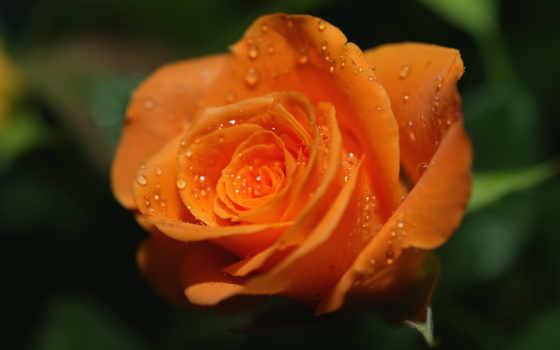 роза, оранжевая, розы, яркая, разных, разрешениях, капли, роса, модульные, любви, картины,