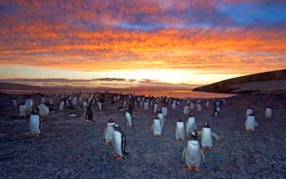 gentoo, пингвин, колония