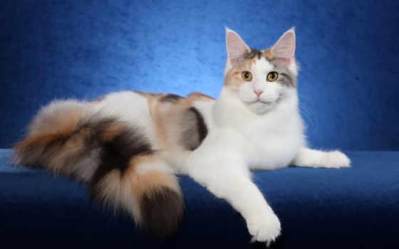 кот, calico, cats, long, haired, фон, широкоэкранные,